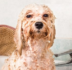 Dig up the Facts to Healthy Miami Dog Grooming