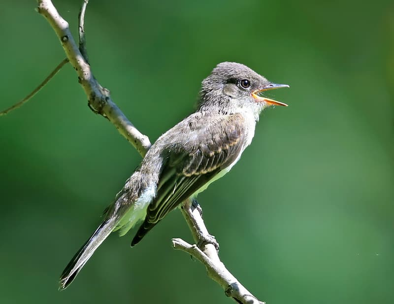 Bird That Sounds Like A Slide Whistle